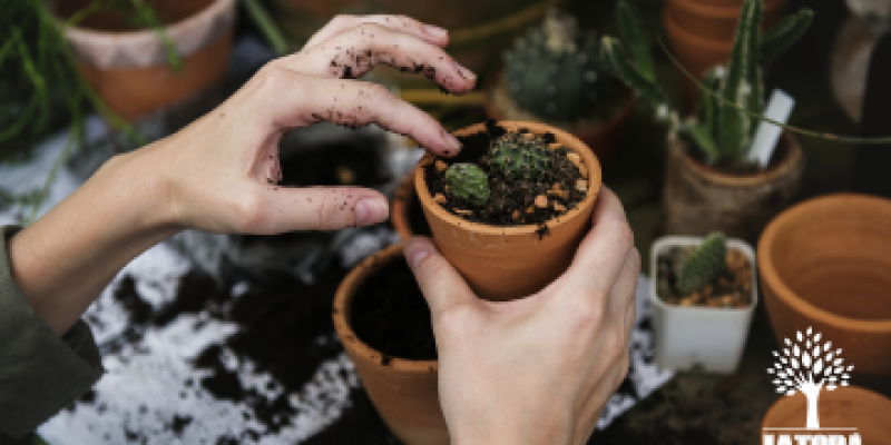 Como fazer mudas de suculentas: métodos de propagação